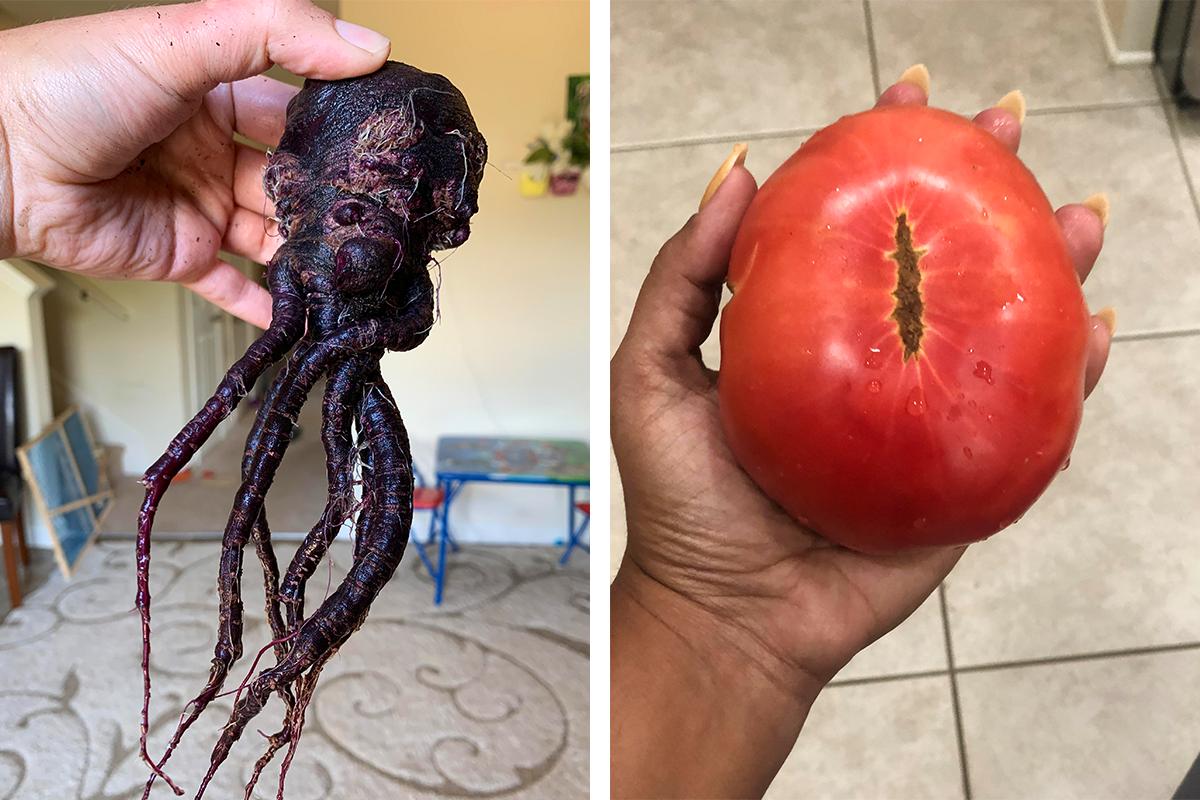 Prípady, keď sa záhradkárom podarilo vypestovať plody s neuveriteľne bizarnými tvarmi